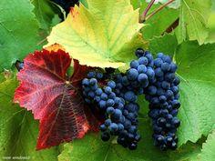 PRESSIONE: il succo d'uva da solo riduce la pressione sanguigna negli uomini ipertesi. E' stato verificato che il succo d'uva inibisce le piastrine ad attaccarsi insieme per formare coaguli. Infine, gli estratti della buccia d'uva hanno effetti diretti nel dilatare i vasi sanguigni (pressione sanguigna più bassa). Questo avviene attraverso la stimolazione del sistema dell'ossido nitrico.