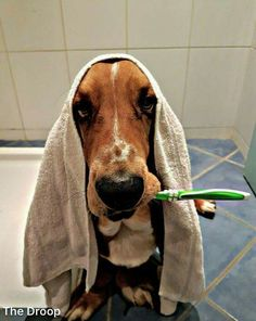 When you get up in the morning and you are late for work. don't forget to brush your teeth. Basset Puppies, Hound Puppies, Basset Hound Puppy, Dogs And Puppies, Doggies, Beagles, Cute Animal Pictures, Dog Pictures, I Love Dogs