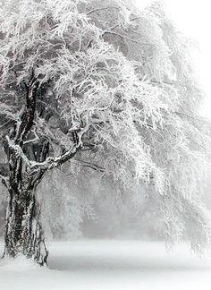 Gnarled snowy trees