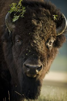 Another bison by viking10.deviantart.com
