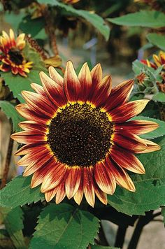 Many people remark about the red-shaded sunflowers that are in mixes like Bellezza D'Autuno, so we decided to offer this shade separately. Dark wine-red petals with creamy yellow highlights at the tip