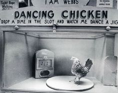 """Webb's City's Dancing Chicken, St. Petersburg, Florida. c. 1975 ... went and saw this as a teen ... you put the money in ... the chicken danced ... corn was dropped after the music stopped!  actually --- the chicken looked more like it was doing the """"scratch!""""  ... do the scratch chicken!  do the scratch!"""