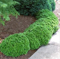 Uncle Brian front yard like for our front Dwarf English Boxwood
