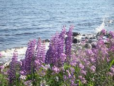 Maine when the lupine bloom.
