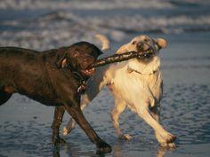 Two Labrador Retrievers Play with a Stick on a Beach