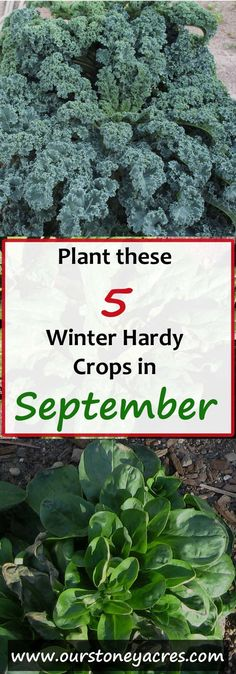 What can you plant in September?? Here are 5 crops you can still plant in September.  This post is meant mainly for those of us living in Zones 4 to 7, in the northern hemisphere.