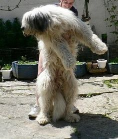 Pictures of the Romanian Mioritic Shepherd Dog along with bios on the dogs. Page 1 Dog Breeds Pictures, Shepherd Dog, Dogs, Pet Dogs, Doggies