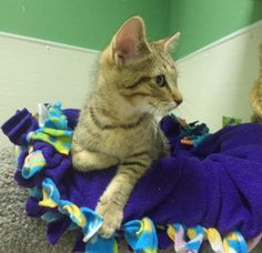 Mario is an adoptable Tabby - Brown Cat in Pekin, IL Well hello there!! I'm little Mario and I am 3 months old!! I am a very friendl ... ...Read more about me on @Petfinder.com.com