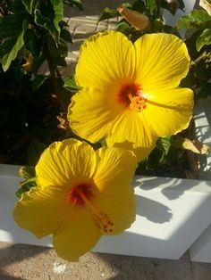 Hibiskus in leuchtendem gelb