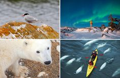 The best time of year to see bears, northern lights and whales in #Manitoba #Canada. #Travel