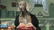 weimaraner pictures dressed up - Bing Images