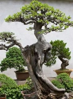 """In the birthplace of the bonsai, the Japanese saw it as an aesthetic art department. Students are educated about the hidden wisdom of bonsai, the viewer can understand the implicit character, attitude of owners through each potted plants. Philosophy harmonious balance of yin and yang represent all the processes into bonsai."""