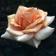 White & Peach Rose