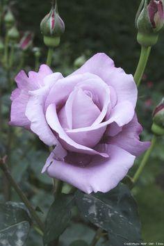 Rose 'Blue Moon' у нас похожая была, при неярком солнечном освещении(например рано утром) её окрас более насыщенный,те голубовато - сиреневый.Не помню был ли у ней аромат?-По моему да,но слабый