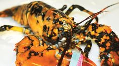 """This July 29, 2014 photo shows a calico lobster at the Explore the Ocean World Oceanarium in Hampton, N.H. Captain Josiah Beringer, of the fishing vessel Patricia Lynn, caught the lobster in one of his traps and donated the 1 ½-pound, 5-year-old male lobster to the aquarium. Ellen Goethel, a marine biologist and owner of the Oceanarium said calico lobsters are the """"second most rare lobster"""" in the world, after albino lobsters.: This July 29, 2014 photo shows a calico lobster at the Explore…"""