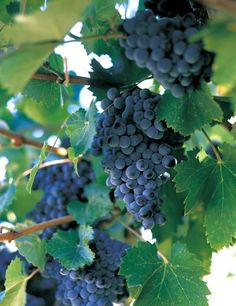 Tour the vineyards in Temecula...