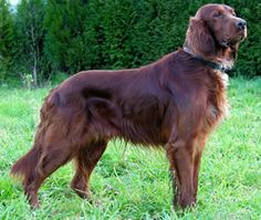 Irish Setter. My first family pet. Her name was Brandy.