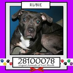 STILL LISTED! **Fort Worth, TX - Current Status: IMMEDIATE TAG NEEDED - Scheduled for euthanasia 7/2  Reason for URGENT: Temperament - scared  Animal ID: 28100078 Name: Rubie Breed: Pit Bull Sex: Female Age: 2 years https://www.facebook.com/fwaccurgents/photos/a.866615710077191.1073742653.137921312946638/878209935584435/?type=3&theater