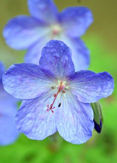 Blue geranium in my garden (Wil 3381)