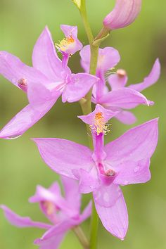 Grass-Pink (Calopogon tuberosus) - Flickr - Photo Sharing!