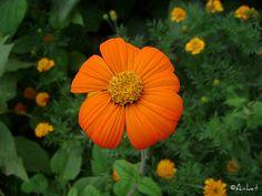 Color me Orange  #flower, #Nature, #orange