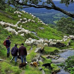 Bringing sheep down from the hills of Mt. Snowdon in Wales. The sheep dogs were in their element. I shot this for NG Traveler some years ago but we never used it. It was a great day being out with the farmers and the dogs. #Wales @natgeo @natgeocreative @   by JC Richardson