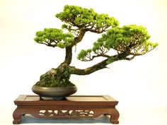 """Shakan"" is words to express the form of the Bonsai. ""Shakan"" is form expressing that a tree feels wind."