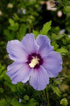 Hibiscus syriacus ULTRAMARINE® 'Minultra' cov ↕ 2.20m ↔ 1.50m Øfl 9cm.Fleurs simples bleu mauve à gros cœur pourpre d'août à oct. (1 mois plus tardif que 'Oiseau Bleu') *** Diffusion SAPHO