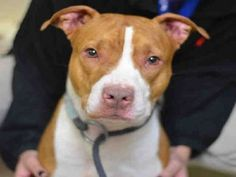 Staten Island JAZZY – A1064916 FEMALE, BROWN / WHITE, PIT BULL MIX, 1 yr STRAY – ONHOLDHERE, HOLD FOR ID Reason STRAY Intake condition UNSPECIFIE Intake Date 02/11/2016, From NY 10301, DueOut Date 02/14/2016, Urgent Pets on Death Row, Inc