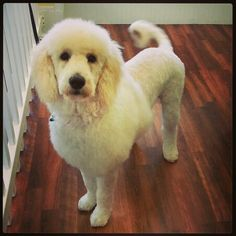 #spawpetgrooming Goldendoodle lion cut