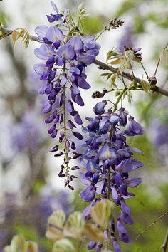 Draping Lavender Purple Wisteria Vines Print By Kathy Clark