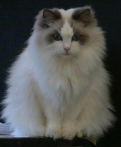 Ragdoll Cat Eden-Lea Tinka Belle. Simple gorgeous!
