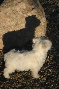 Zoey Westie pup. Me and my shadow.