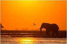 Elephant at sunset. A photo taken by: Botswana Footprints