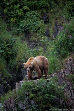 kodiak-bear-2