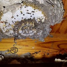 Unwelcome house guests! Or at least what's left of them... #Rochesterny #Roc #pestremoval #pestcontrol #yellowjacket