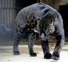 16 Animals That Look As If They Are Painted By The Night Itself Black Panthers, Jaguar Noir, Melanistic Animals, Black Squirrel, Rare Animals, Wild Animals, Black Animals, African Animals, African Elephant
