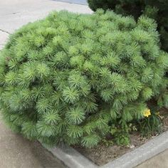 Dwarf Scot Pine (Pinus sylvestris 'Nana')  Evergreen tree; slow-growing small tree with flakey red-brown or purple-gray bark with blue-green or yellow-green...