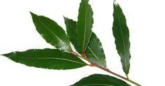 Le LAURIER-SAUCE est considéré comme la plante de la SERENITE, mais ont de multiples propriétés anti-inflammatoires, sédatives, antifo...