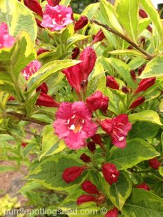 Many weigela have variegated foliage as gorgeous as the blooms!  www.purplepottingshed.com