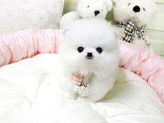 She's beautiful!- Duchess Teacup Pomeranian
