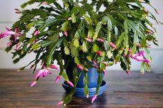 Christmas Cactus Care: More Blooms, Propagate & Identify Holiday Cacti Christmas Cactus Care, Christmas Crafts, Backyard Ducks, Chickens Backyard, Straw Bale Gardening, Gardening Tips, Vegetable Gardening, Invasive Plants, Terrarium Diy