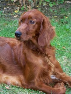 Irish setter   ...........click here to find out more  http://1.googydog.com