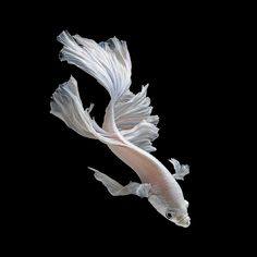 Strikingly Beautiful Siamese Fighting Fish Dance in Dark Waters (13/13)