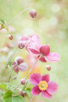 Anemonies by Mandy Disher, via Flickr