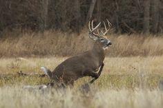 whitetail deer images   Whitetail Deer Buck in Rut   Flickr - Photo Sharing!