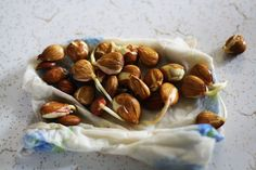 Sprouting apricot seeds