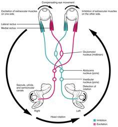 The Vestibular System and EOMs Part 2 Vestibulo-Ocular_Reflex Eye Anatomy, Brain Anatomy, Medical Anatomy, Muscle Anatomy, Anatomy And Physiology, Gross Anatomy, Human Anatomy, Optometry School, Vestibular System