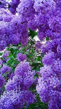 Purple Lilac to replace the two Linden trees blocking the sign on the building front (can we swap this for that) Amazing Flowers, Purple Flowers, Beautiful Flowers, Purple Lilac, Lilac Bushes, All Things Purple, Flowering Trees, Dream Garden, Trees To Plant