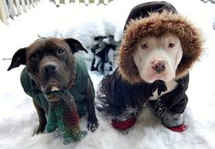 Adoptable dog Belle and fun Frankie (pic left to right) are reminding everyone to please keep your pets safe and warm and to limit the amount of time your pets spend outside in these snowy cold temps. For more information on Belle and our adoption process, please email adoption@pitbullprideofdelaware.org.